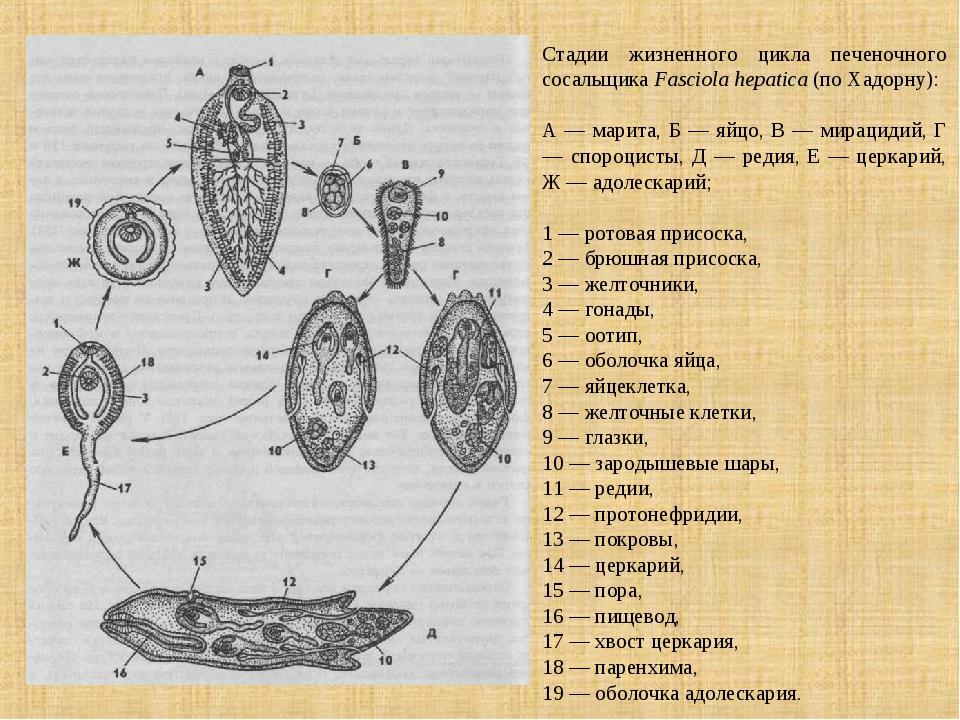 Стадии жизненного цикла печеночного сосальщика Fasciola hepatica (по Хадорну)...