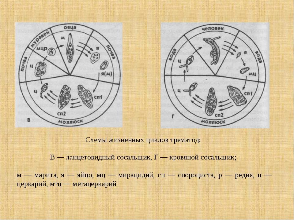 Схемы жизненных циклов трематод: В — ланцетовидный сосальщик, Г — кровяной со...