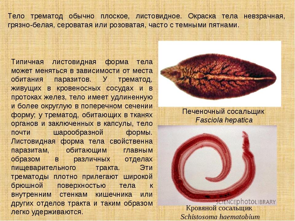 Тело трематод обычно плоское, листовидное. Окраска тела невзрачная, грязно-бе...