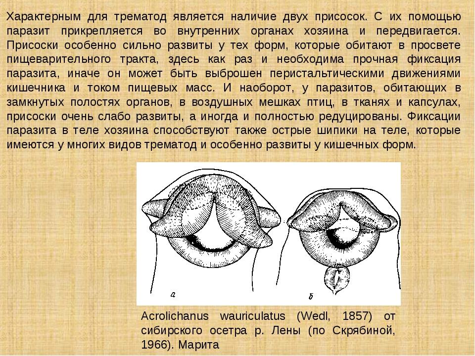 Характерным для трематод является наличие двух присосок. С их помощью паразит...