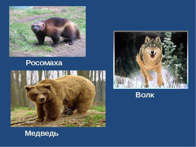 Росомаха Волк Медведь