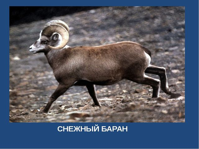 СНЕЖНЫЙ БАРАН