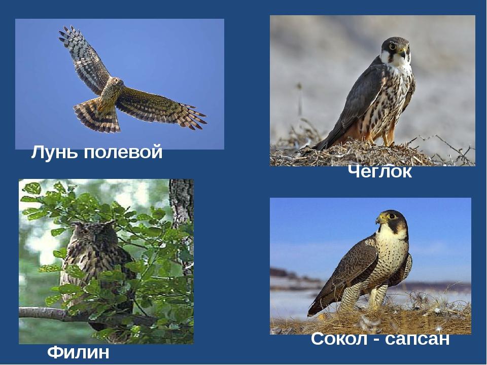 Филин Сокол - сапсан Чеглок Лунь полевой