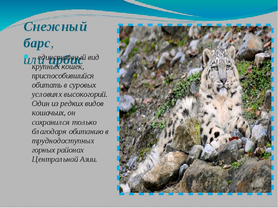 Снежный барс, илиирбис – единственный вид крупных кошек, приспособившийся о...