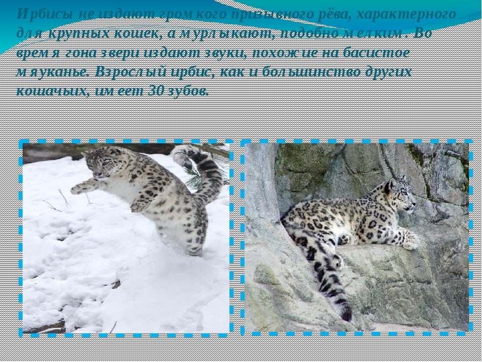 Ирбисы не издают громкого призывного рёва, характерного для крупных кошек, а...