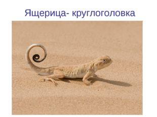 Ящерица- круглоголовка