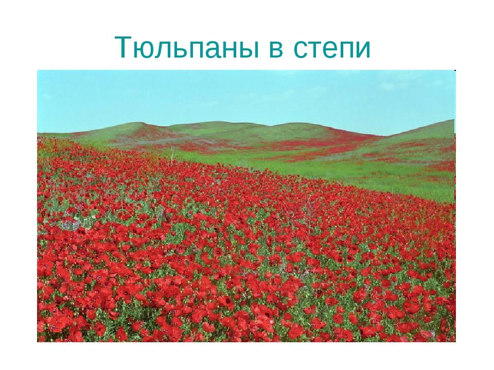 Тюльпаны в степи