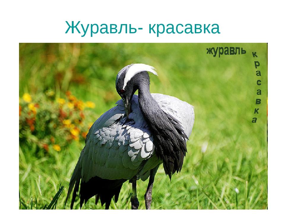 Журавль- красавка