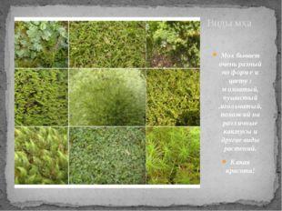 Виды мха Мох бывает очень разный по форме и цвету : мохнатый, пушистый ,иголь