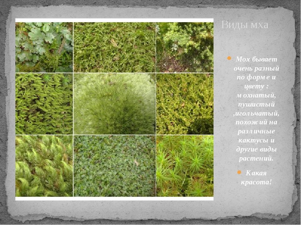 Виды мха Мох бывает очень разный по форме и цвету : мохнатый, пушистый ,иголь...