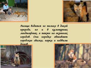 Лисица водится не только в дикой природе, но и в культурных ландшафтах, а так