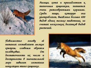 Лисица, хотя и принадлежит к типичным хищникам, питается очень разнообразными