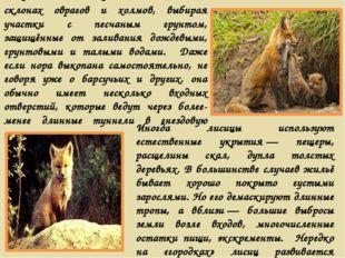 Чаще всего лисицы поселяются на склонах оврагов и холмов, выбирая участки с п