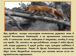 Как правило, лисицы используют постоянные укрытия лишь в период воспитания де