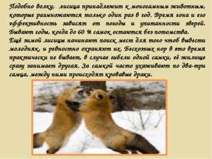 Подобно волку, лисица принадлежит к моногамным животным, которые размножаются