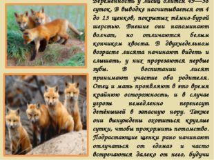 Беременность у лисиц длится 49—58 суток. В выводке насчитывается от 4 до 13 щ