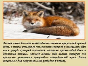 Лисица имеет большое хозяйственное значение как ценный пушной зверь, а также