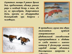 Охотятся лисицы в разное время дня, предпочитая, однако, раннее утро и поздни