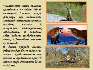 Численность лисиц заметно колеблется по годам. На её состояние влияют такие ф