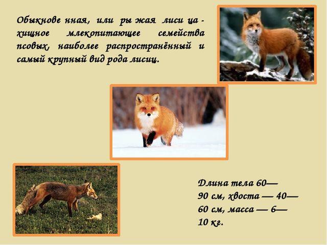 Обыкнове́нная, или ры́жая лиси́ца- хищное млекопитающее семейства псовых, на...