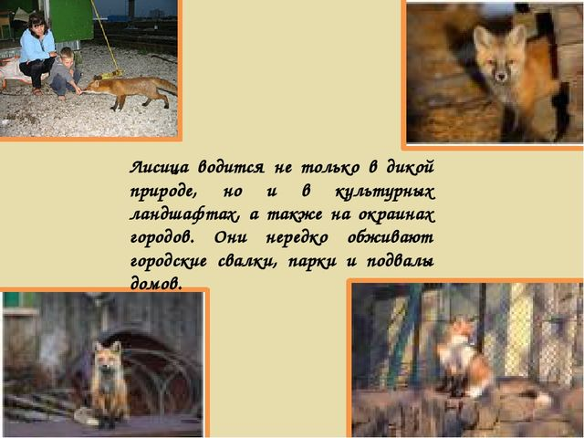 Лисица водится не только в дикой природе, но и в культурных ландшафтах, а так...
