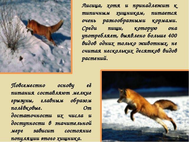 Лисица, хотя и принадлежит к типичным хищникам, питается очень разнообразными...