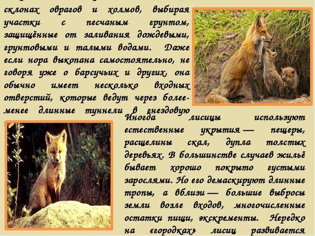 Чаще всего лисицы поселяются на склонах оврагов и холмов, выбирая участки с п...