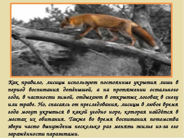 Как правило, лисицы используют постоянные укрытия лишь в период воспитания де...