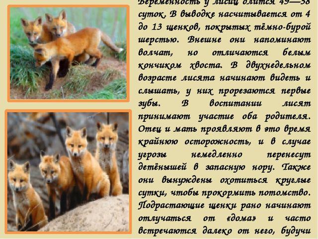 Беременность у лисиц длится 49—58 суток. В выводке насчитывается от 4 до 13 щ...
