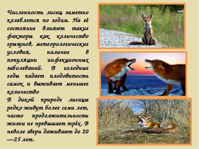 Численность лисиц заметно колеблется по годам. На её состояние влияют такие ф...