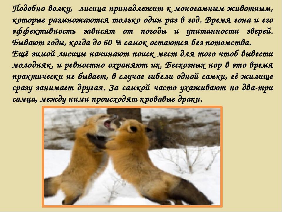 Подобно волку, лисица принадлежит к моногамным животным, которые размножаются...