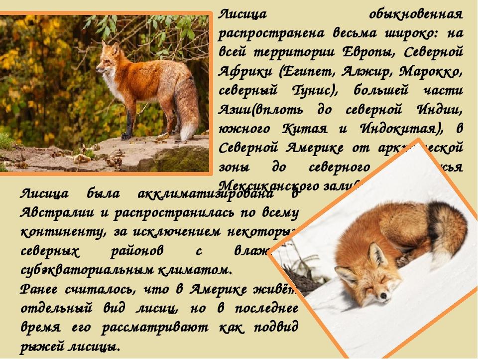 Лисица обыкновенная распространена весьма широко: на всей территории Европы,...