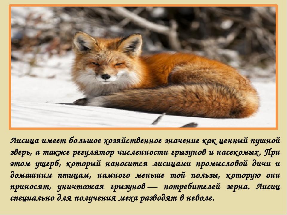 Лисица имеет большое хозяйственное значение как ценный пушной зверь, а также...