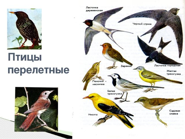 Птицы зимующие