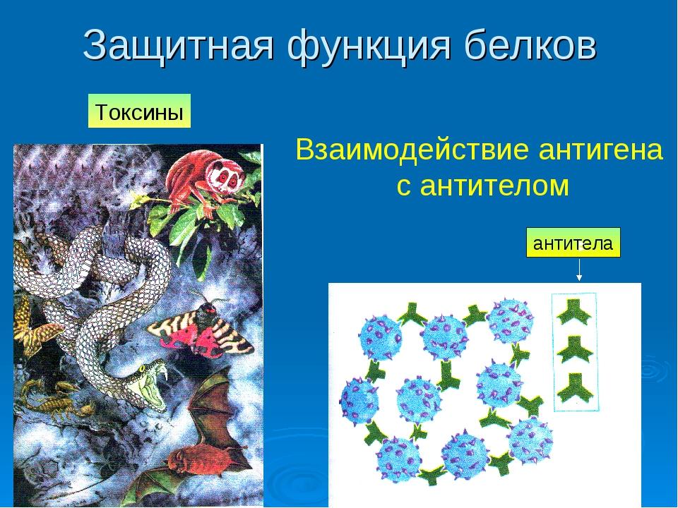 Защитная функция белков Взаимодействие антигена с антителом антитела Токсины