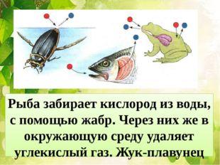Рыба забирает кислород из воды, с помощью жабр. Через них же в окружающую сре