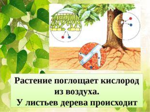 Растение поглощает кислород из воздуха. У листьев дерева происходит через уст