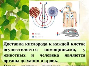 Доставка кислорода к каждой клетке осуществляется помощниками, у животных и ч