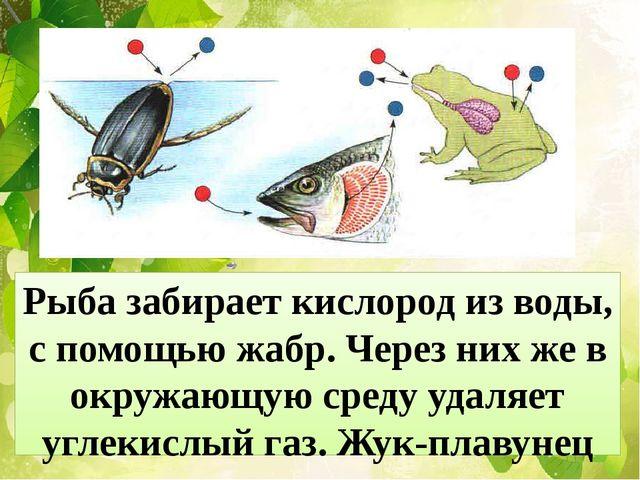 Рыба забирает кислород из воды, с помощью жабр. Через них же в окружающую сре...