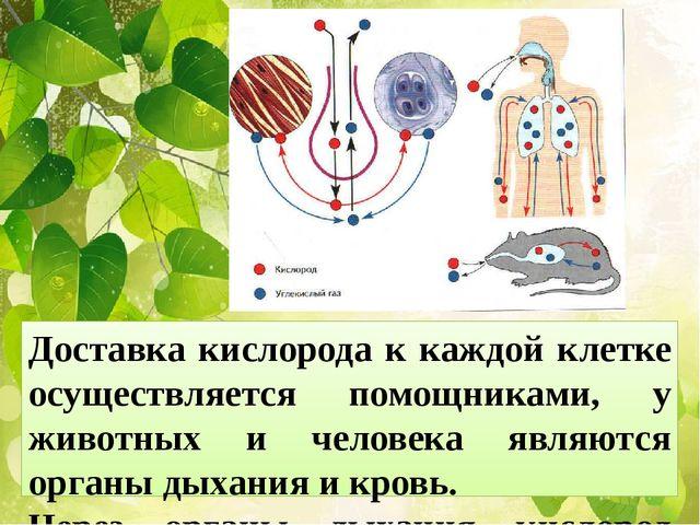 Доставка кислорода к каждой клетке осуществляется помощниками, у животных и ч...