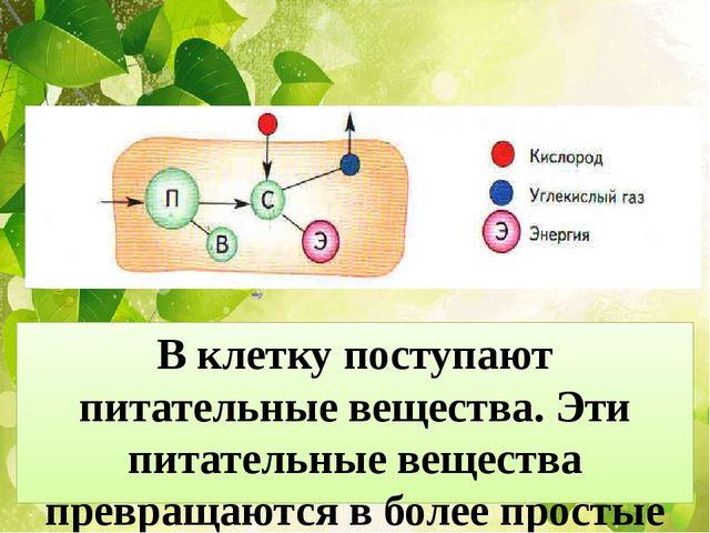 В клетку поступают питательные вещества. Эти питательные вещества превращаютс...