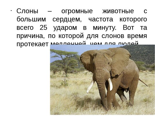 Слоны – огромные животные с большим сердцем, частота которого всего 25 ударом...
