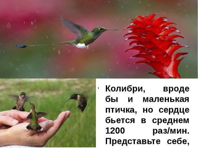 Колибри, вроде бы и маленькая птичка, но сердце бьется в среднем 1200 раз/мин...