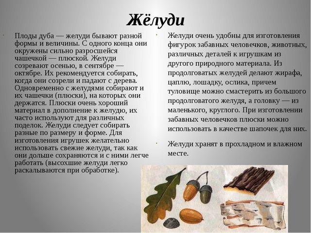 Жёлуди Плоды дуба — желуди бывают разной формы и величины. С одного конца они...