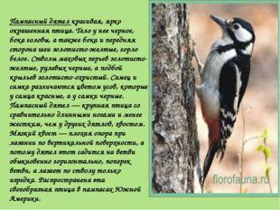 Пампасный дятел красивая, ярко окрашенная птица. Тело у нее черное, бока голо