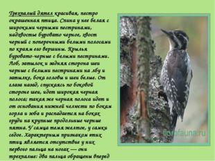 Трехпалый дятел красивая, пестро окрашенная птица. Спина у нее белая с широки