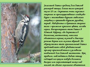 Земляной дятел средних для дятлов размеров птица, длина тела которой около 25
