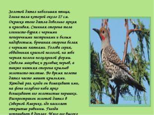 Золотой дятел небольшая птица, длина тела которой около 27 см. Окраска этого