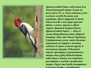Красноголовый дятел небольших для дятлов размеров птица: длина его тела около