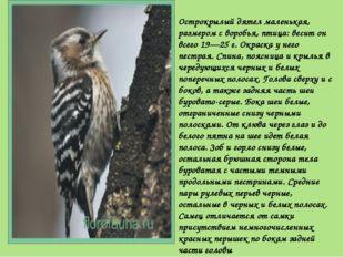 Острокрылый дятел маленькая, размером с воробья, птица: весит он всего 19—25